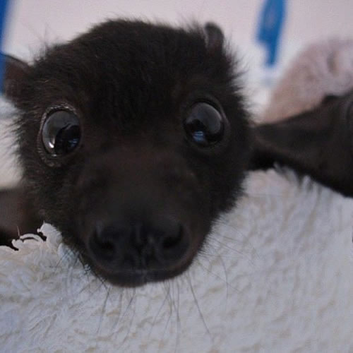 baby_bat_face