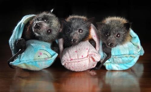 babybats5